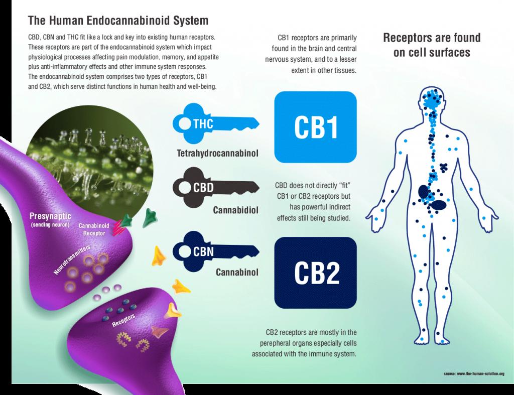 CB 1 receptor